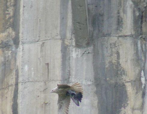 Sakerfalke Quelle: bird.at